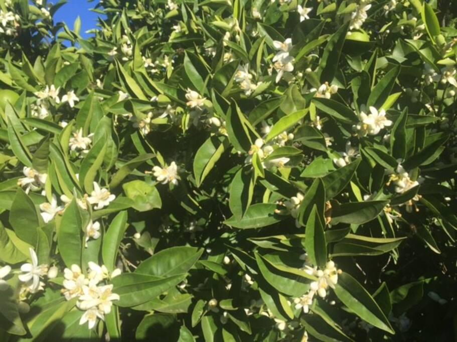 Los naranjos en plena floración. Hay un agradable aroma a azahar en toda la prpoiedad.