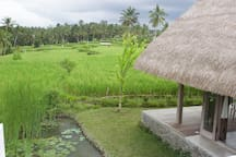SIDE VIEW TO RICE FIELDS