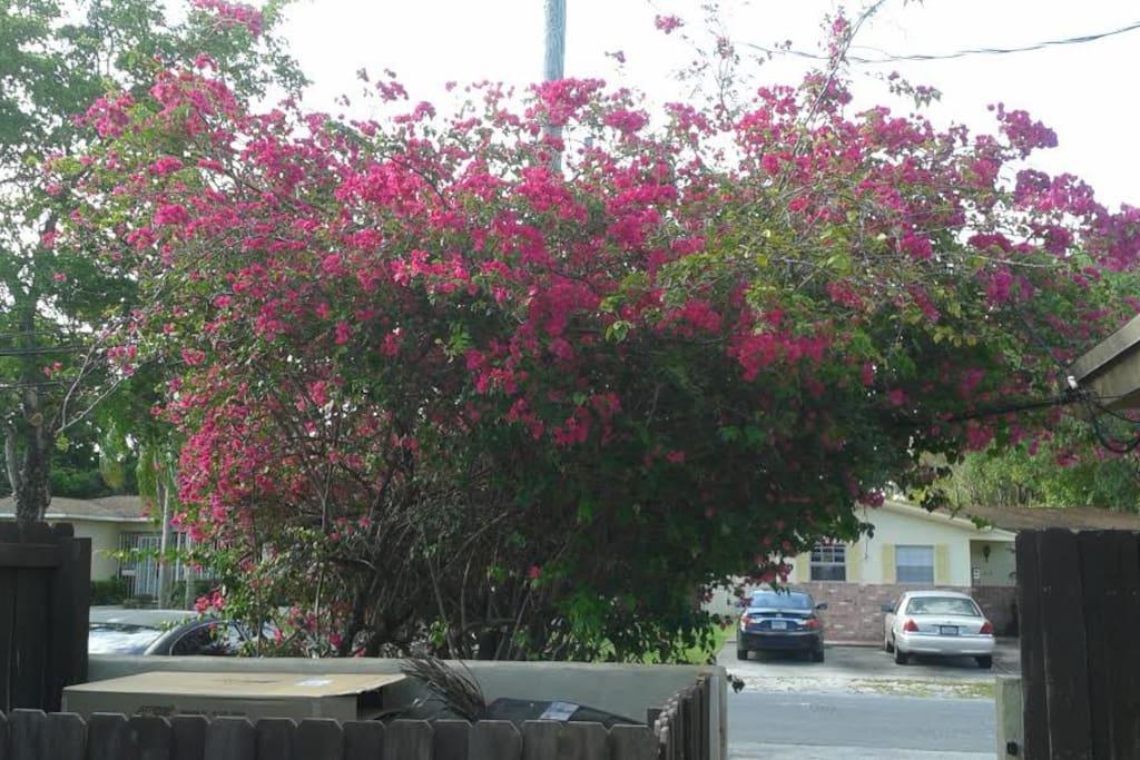 la bucanville repleta de flores a la entrada del jardin