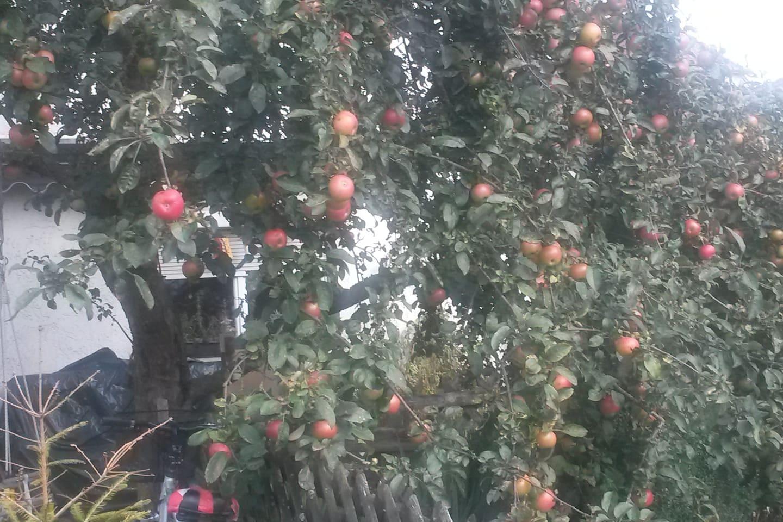 Unser prächtiger Apfelbaum