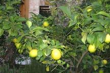 Typical Garda lemons in the Garden