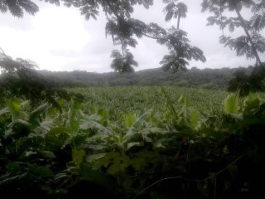 Vue sur la plantation