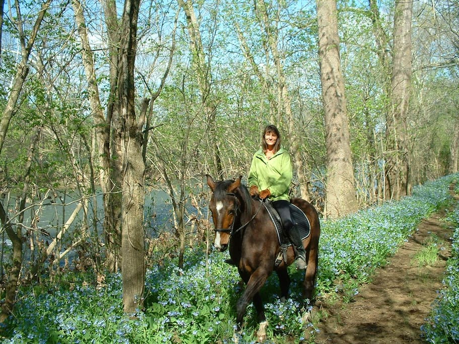 Bluebells in the early spring by the Shenandoah River.