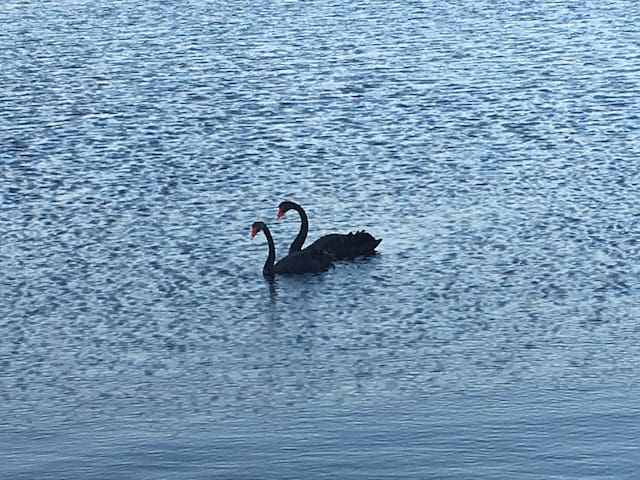 Beautiful Black swans at Canning River