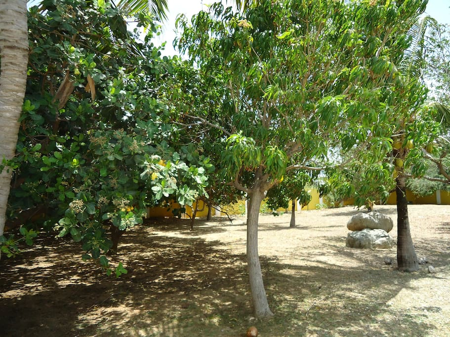 Cashews, mangoes, coconuts and bananas grow in the large back yard, also BBQ grill and seating overlooking the orchard.