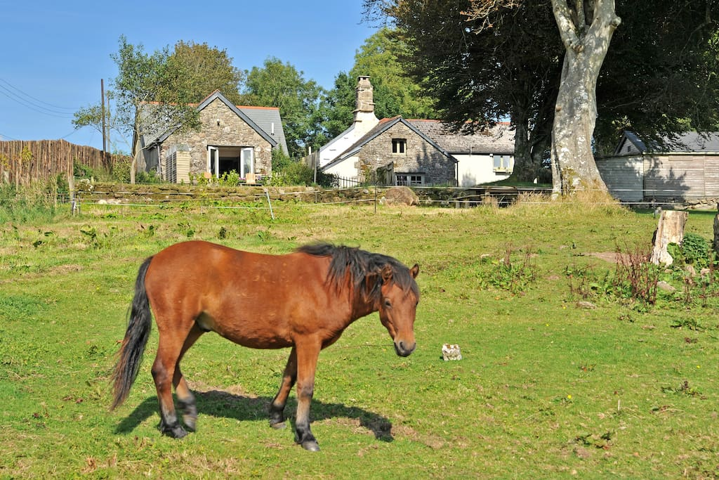 Dartmoor ponies graze next to garden