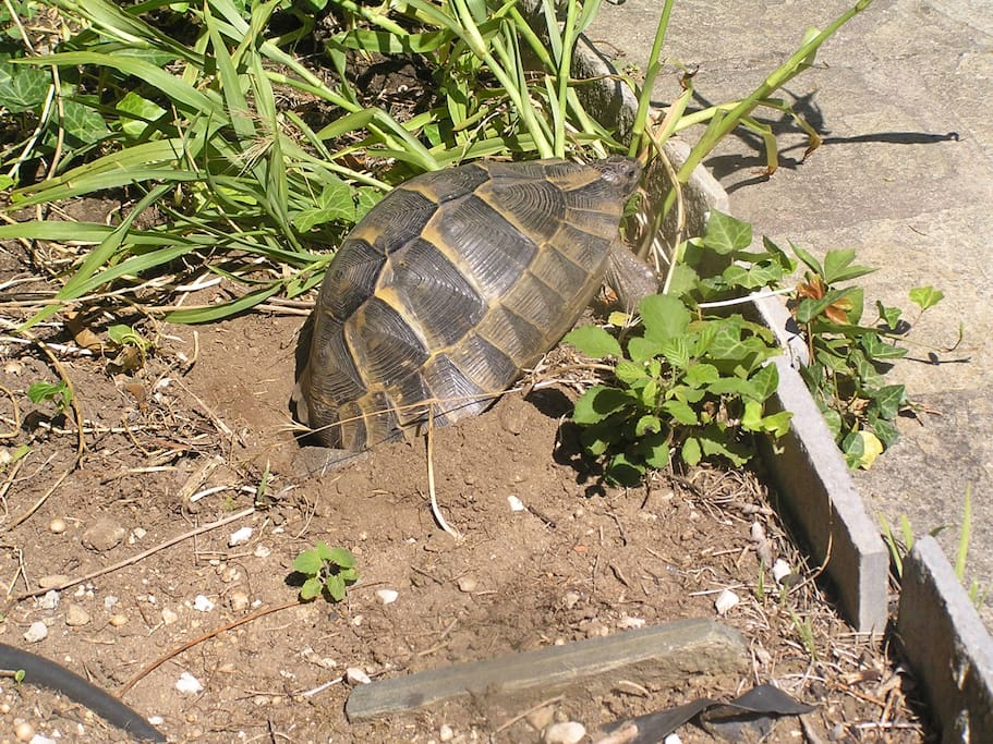 Two or Three tortoise in the garden making small tortoises!