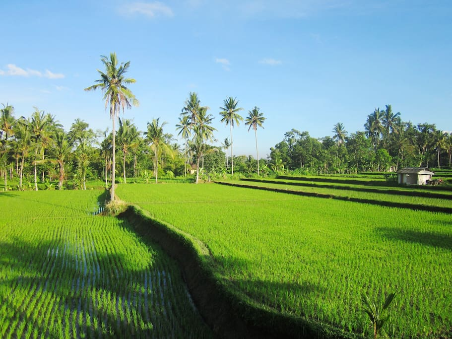 Rice field at the front of the house