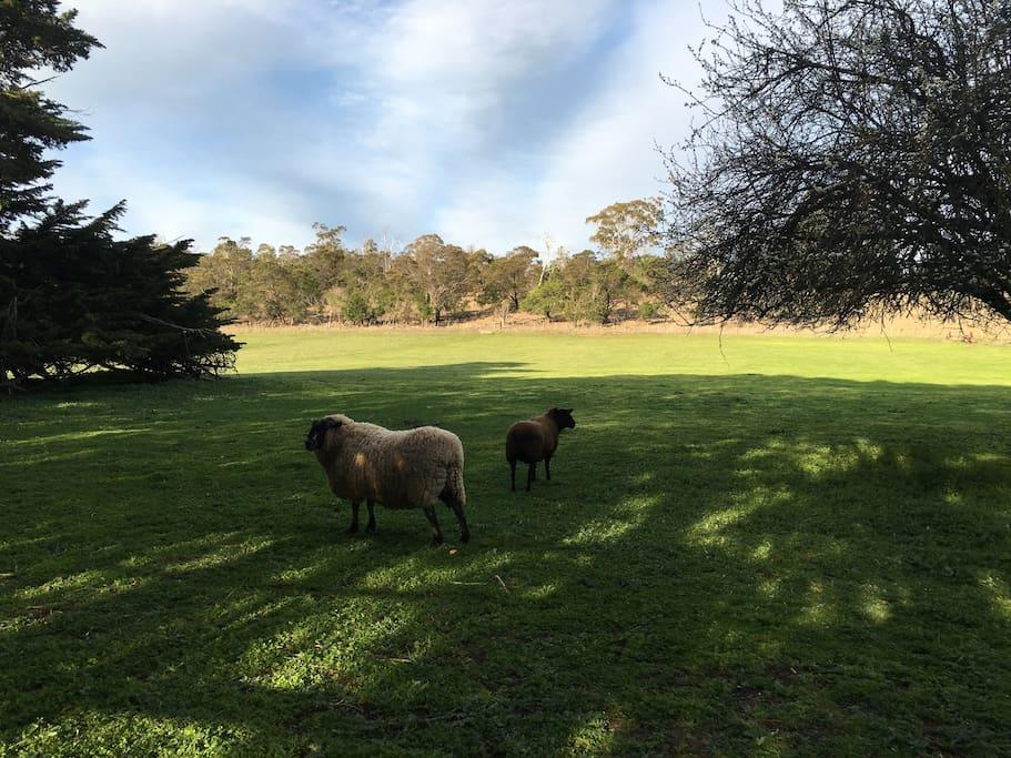 Resident Pet Sheep