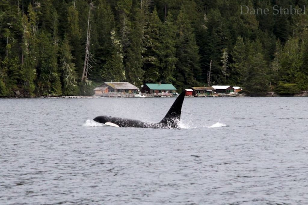 Bull killer whale hunting around the lodge...