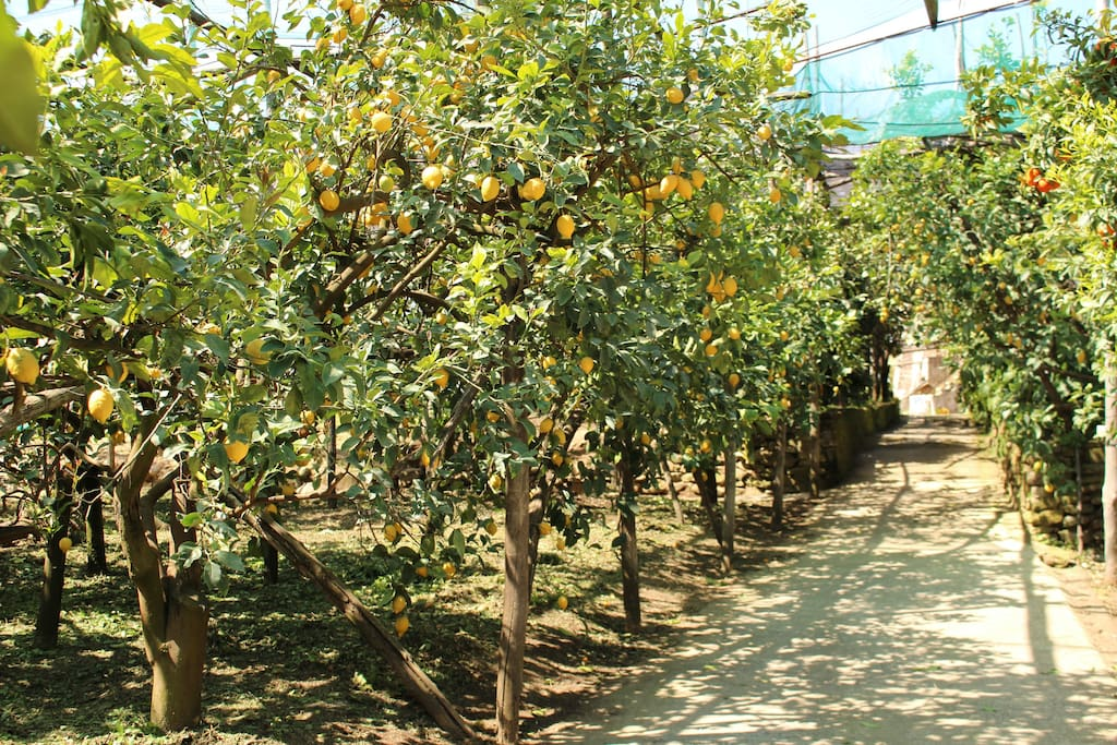 Our Lemon Orchard