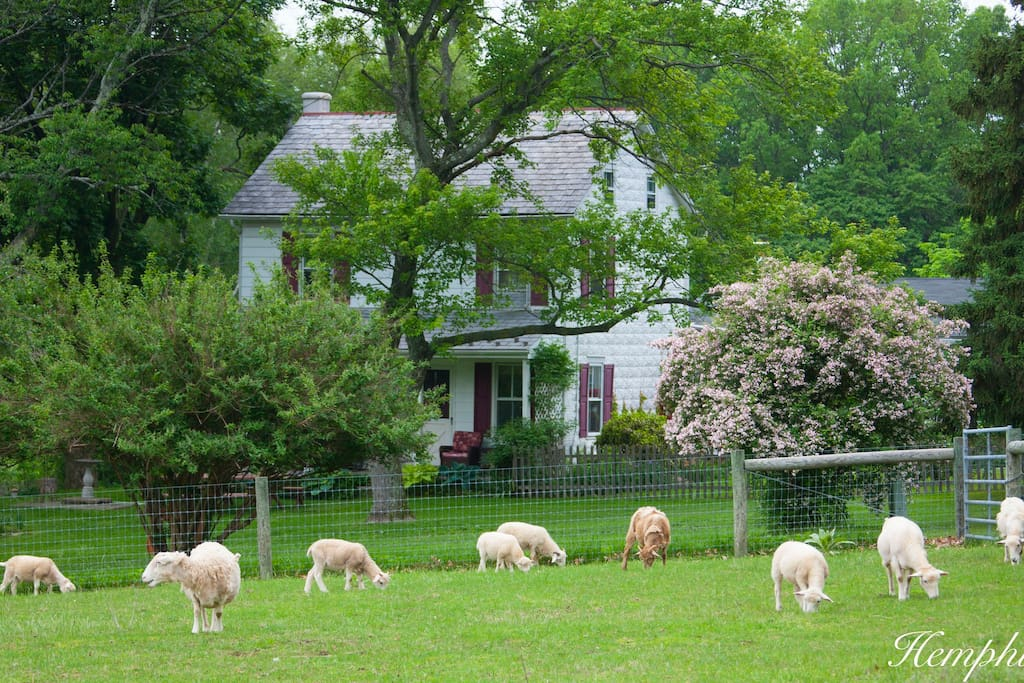 Welcome to the farm! Sheep in the upper pasture in front of the farmhouse. Sit on the front porch with family and friends and watch the sheep in the pastures. There is a badminton and volleyball net. Plenty of room for the kids to play safely. The farmhouse is set far back off a no-outlet road. Plenty of space for the kids to run around.