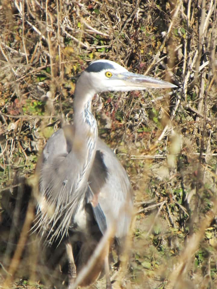 Great Blue Heron at Yolo Bypass