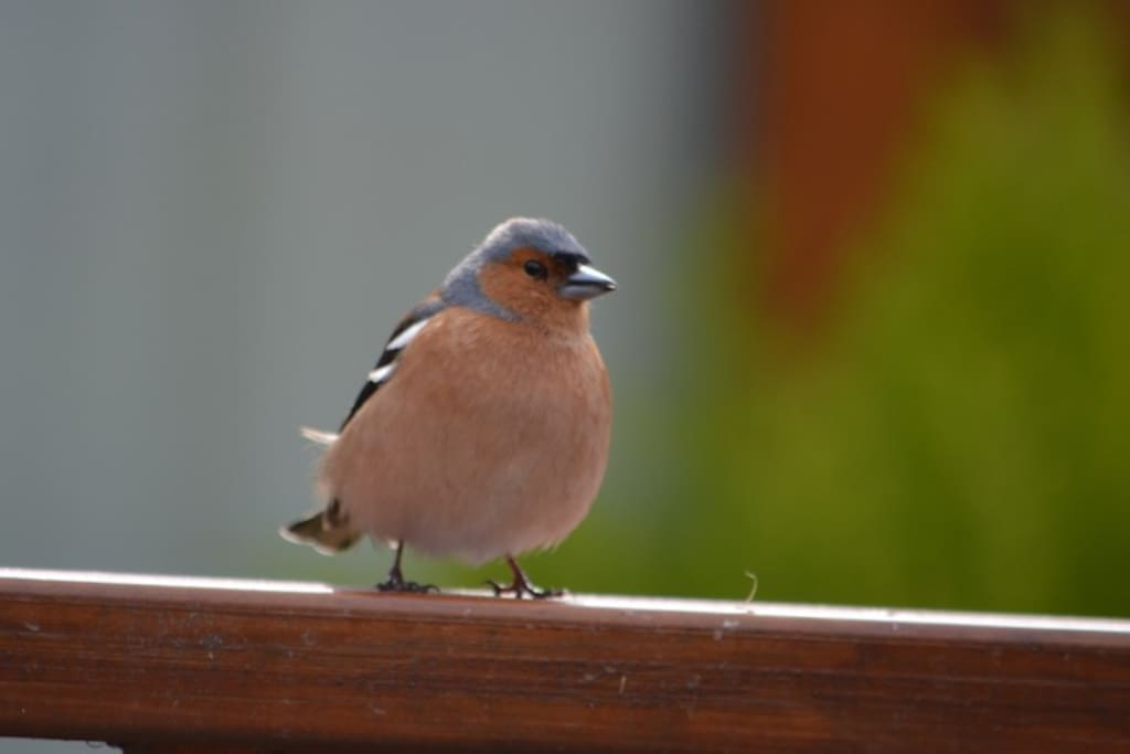 Many wild birds visit our bird table.