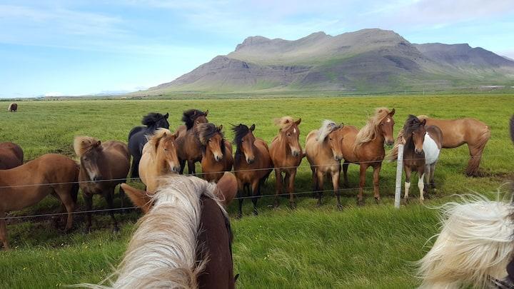 Premium Cottages on a Horse Farm (West Iceland)