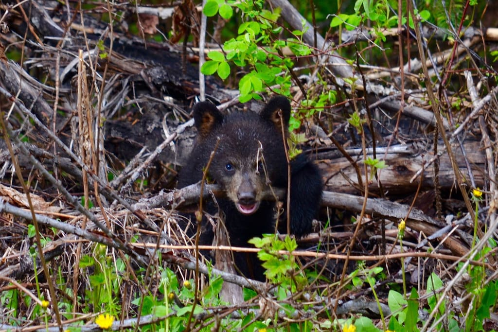 New bear cub playing in the brush :)