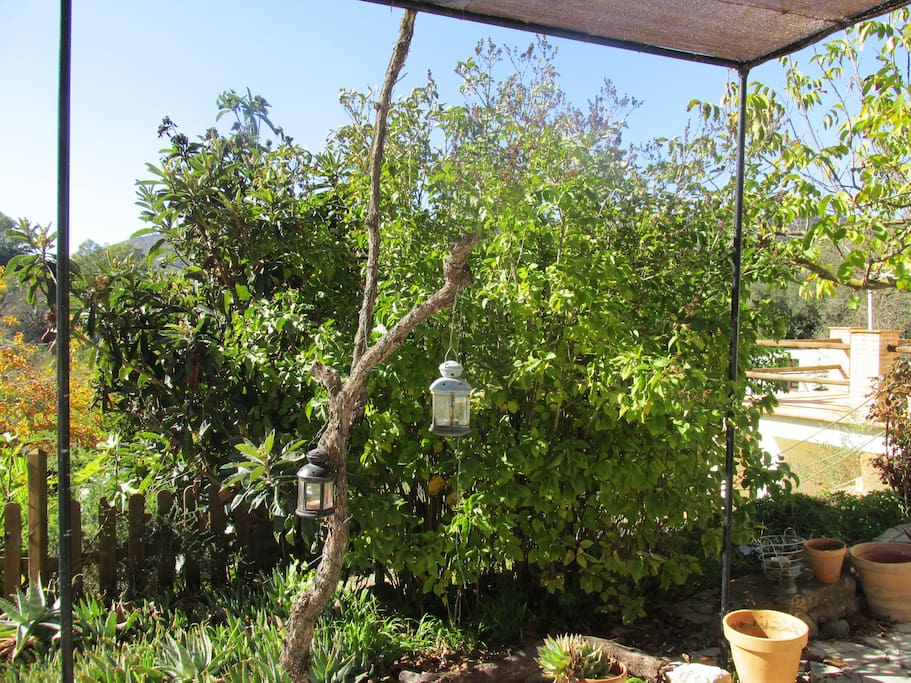 View of the nispera tree from the casita