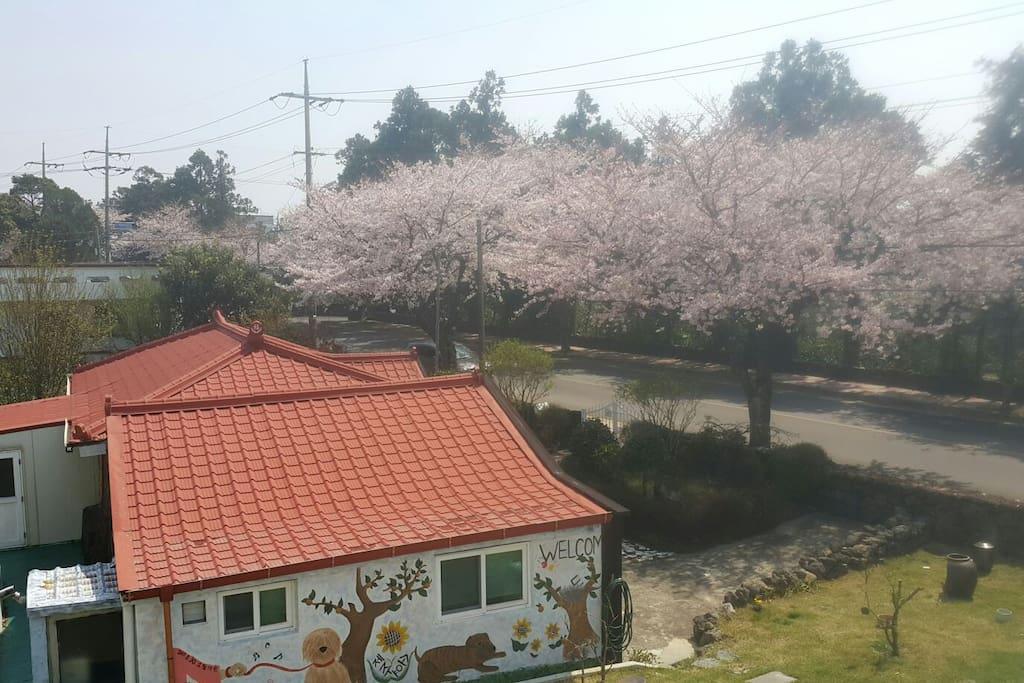 벚꽃필때의 제주소요에서 바라본 전경입니다