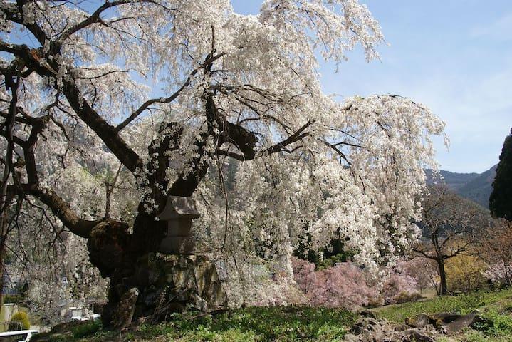 Enmeiji Temple cherry blossoms 延命寺のしだれ桜