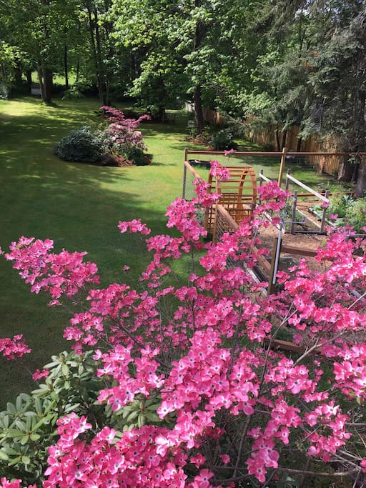 Flowering pink dogwood and vege garden in May. Large backyard for relaxing in peace and tranquility