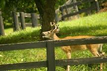 A young buck munching apples.