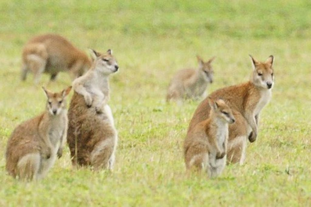 wallabies visit our house daily. Right outside.