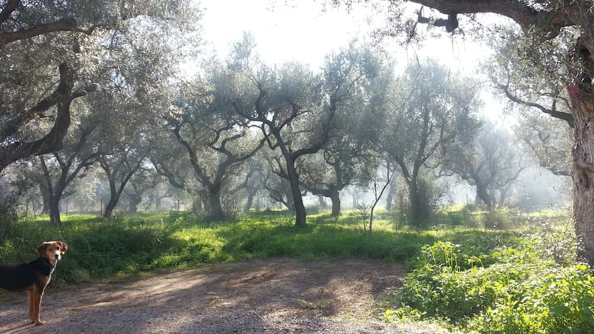 Olive grove outside the house