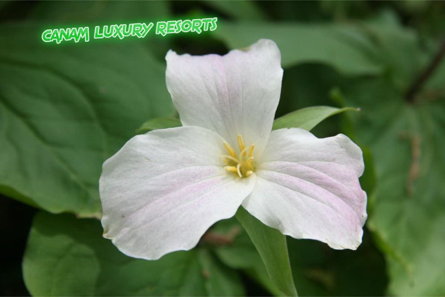 Any of various plants of the genus Trillium, of North America, the Himalaya Mountains, and eastern Asia, having a whorl of three leaf like bracts and a usually white, reddish, or yellow three-petaled flower.