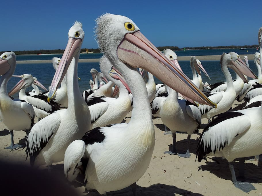 Pelican feeding nearby worth seeing. A daily occurrence and it's free.