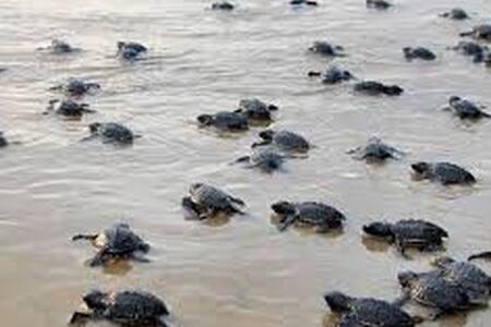 Velas - The Turtle Breeding Village C10