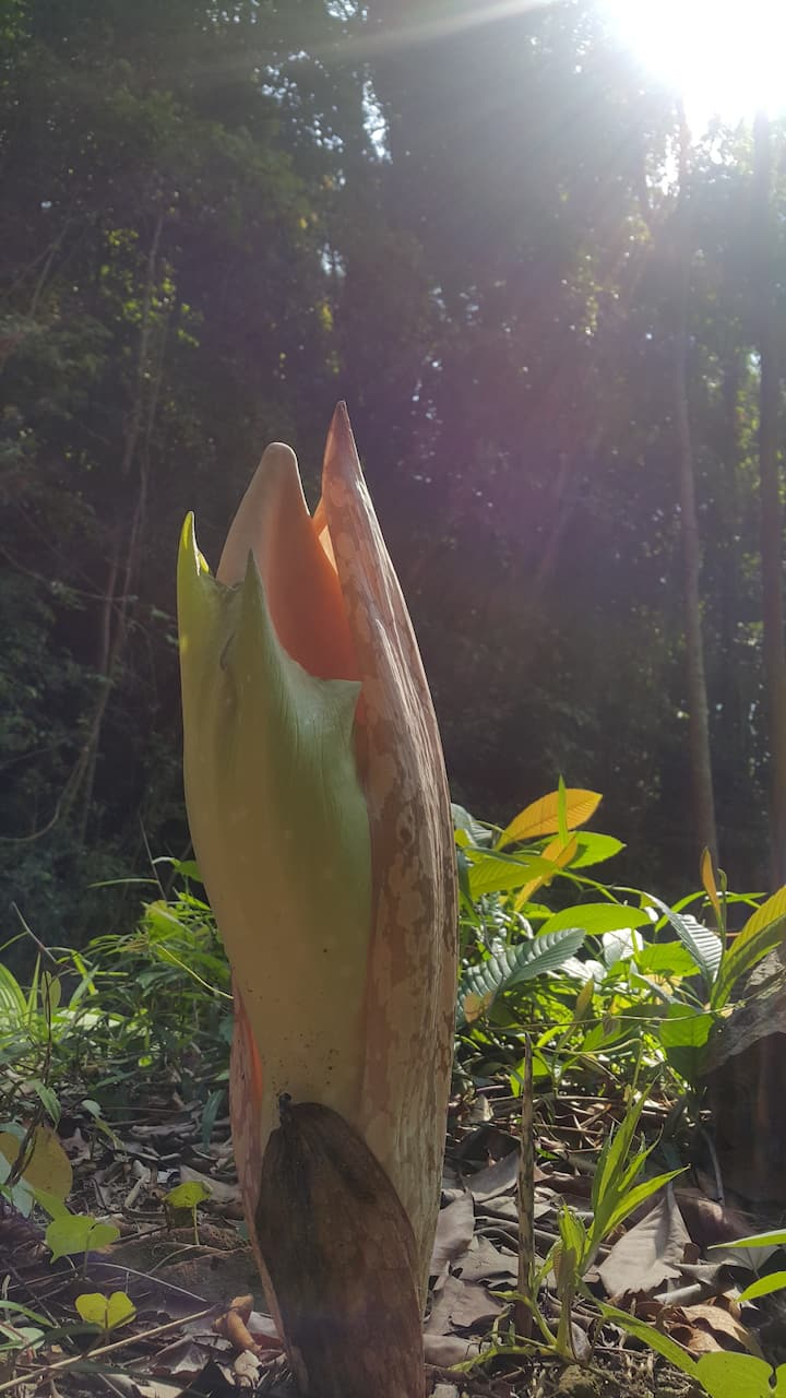 plant resembling a human tongue