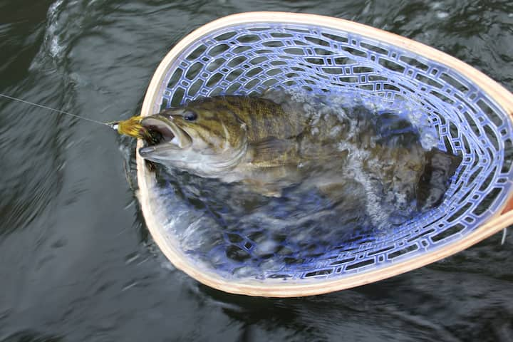 Smallmouth bass caught on the fly.