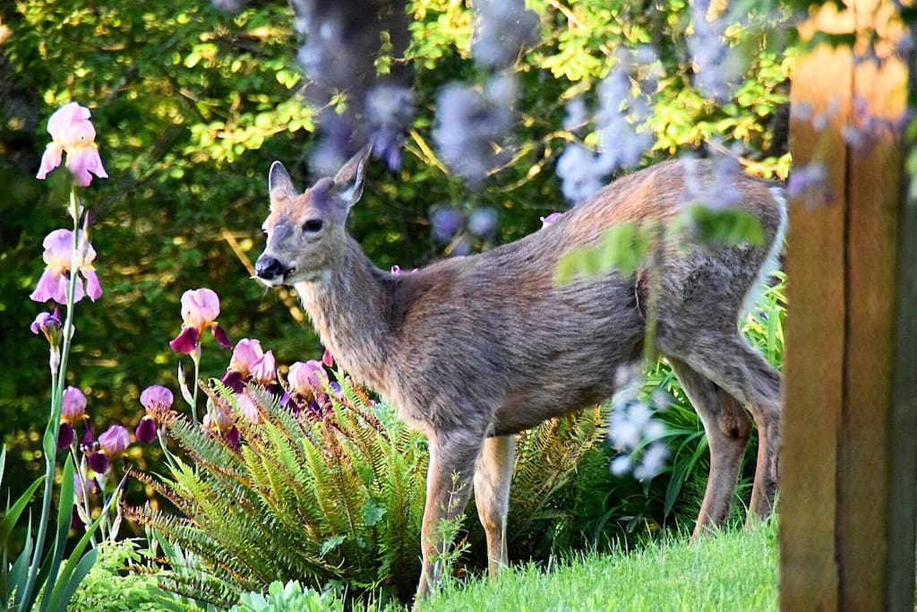 Young black tail deer on the lawn. Photo by our guest, Barbara