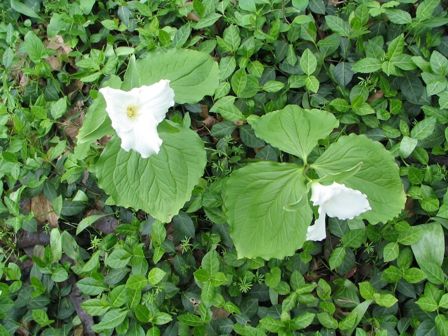 May brings Wood Lilies - Trillium Grandiflorum