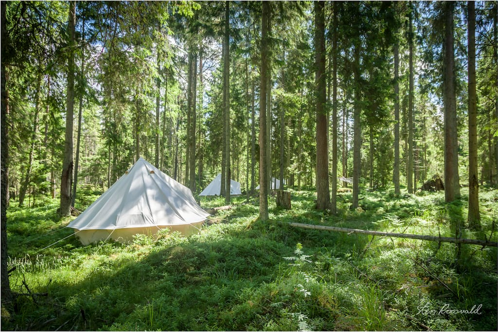 Tents are among old growth forest
