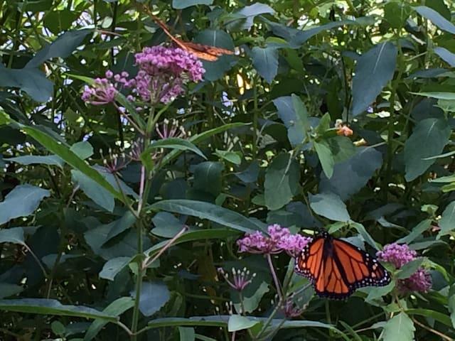 Monarchs Munching