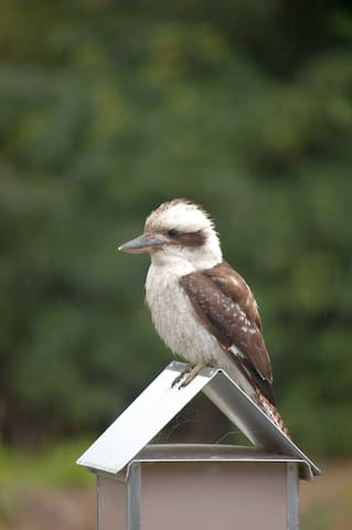 Local Kookaburra checking the mail...