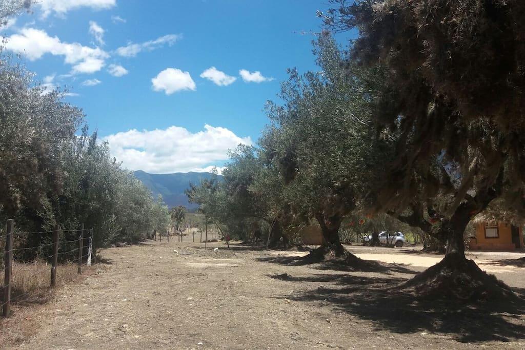 Parque de árboles de olivo