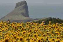 Sunflowers at Rhosgilli