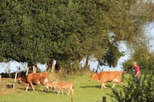 Our Jersey Cows