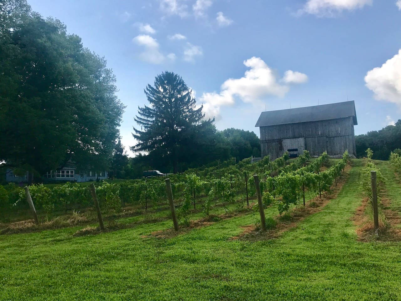 Our vineyard in front of our barn ( house to left of barn next to trees )