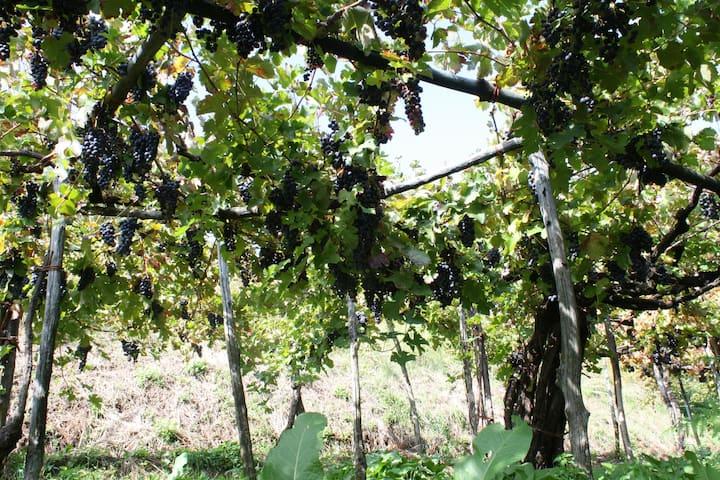 Basileo Vineyard