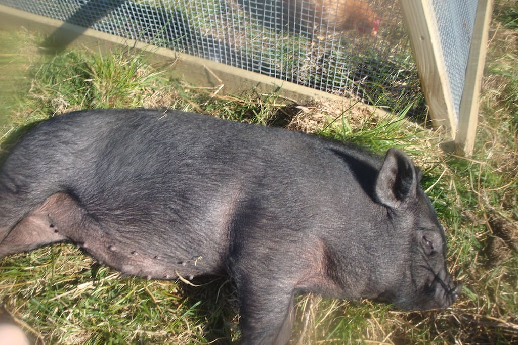 Pig resting at Letterfrack Farm.