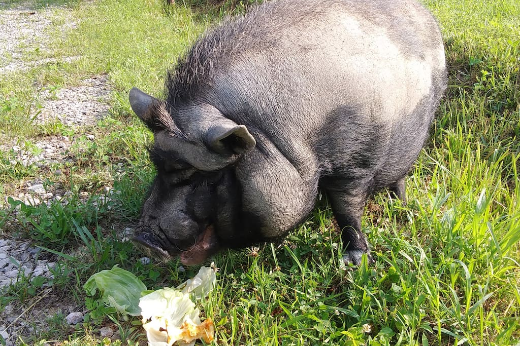 Miss Piggy, our pot-bellied guard pig. Keep your distance from that mouth. She's not fond of being petted.