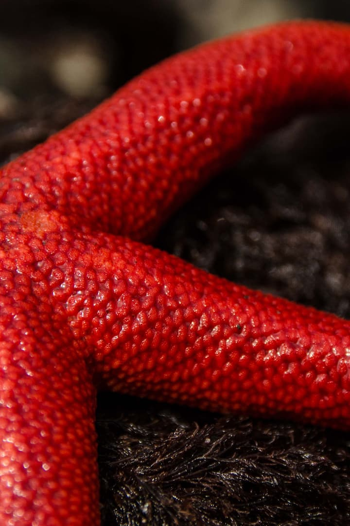 Blood Red star fish
