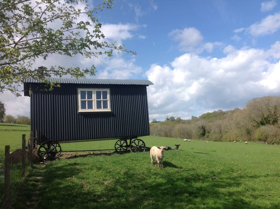 A lamb by the hut