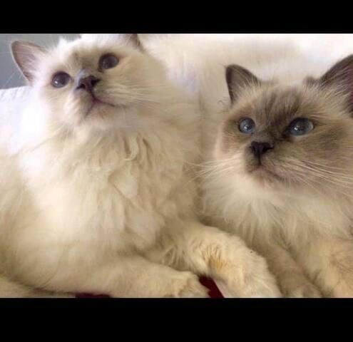 I miei due Gatti Birmani. Si chiamano Nino e Nello. Sono un amore e molto dolci. Sono davvero capaci di farsi amare.