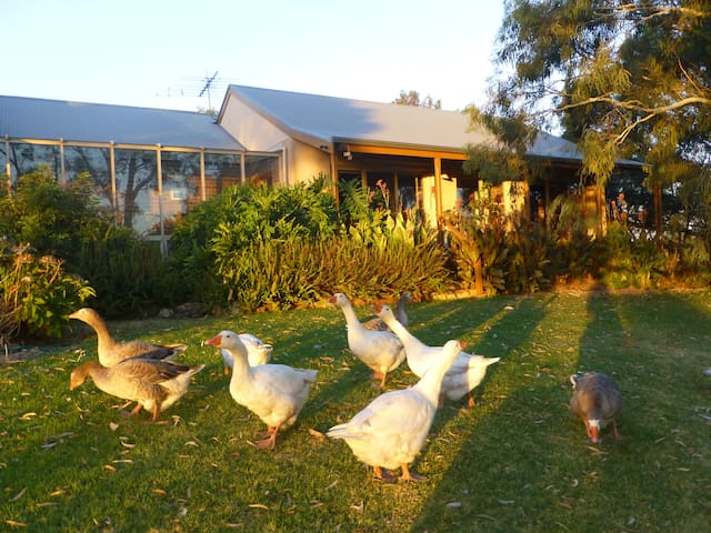 Be entertained by our friendly garden geese.