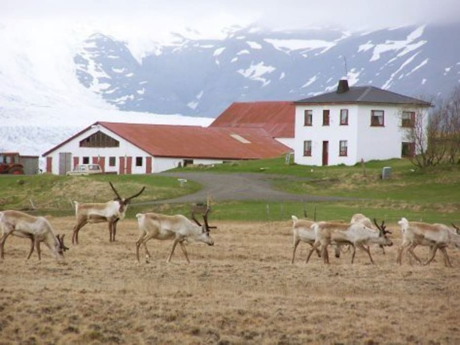 Reindeer in front of the guesthouse in the winter
