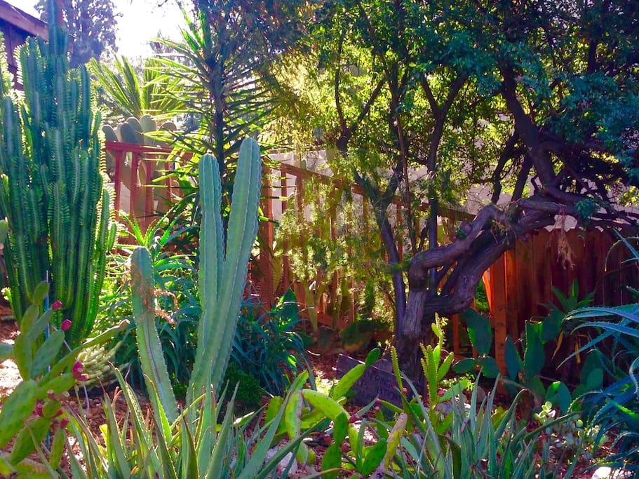 7 year old cactus garden.